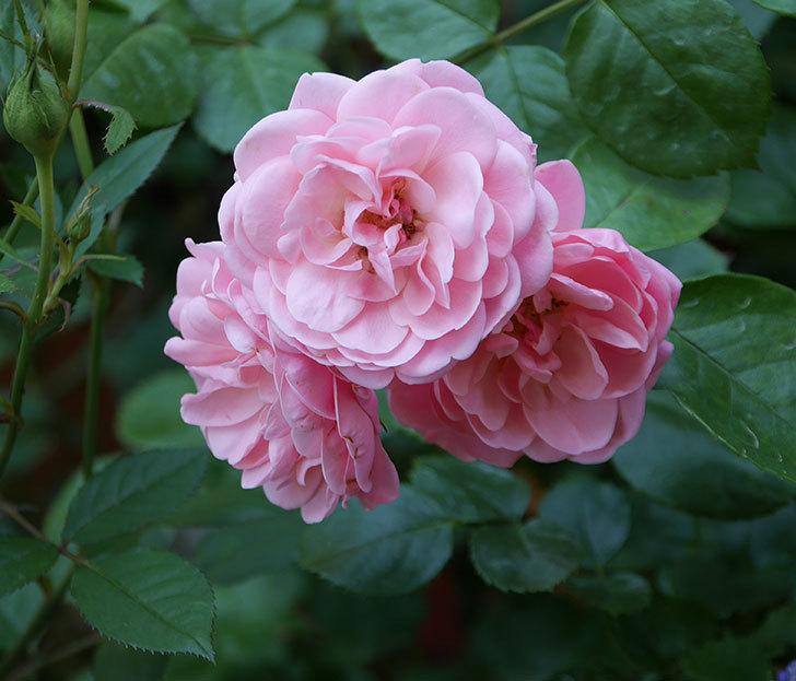 バイランド(木立バラ)の花が房で咲いた。2019年-15.jpg
