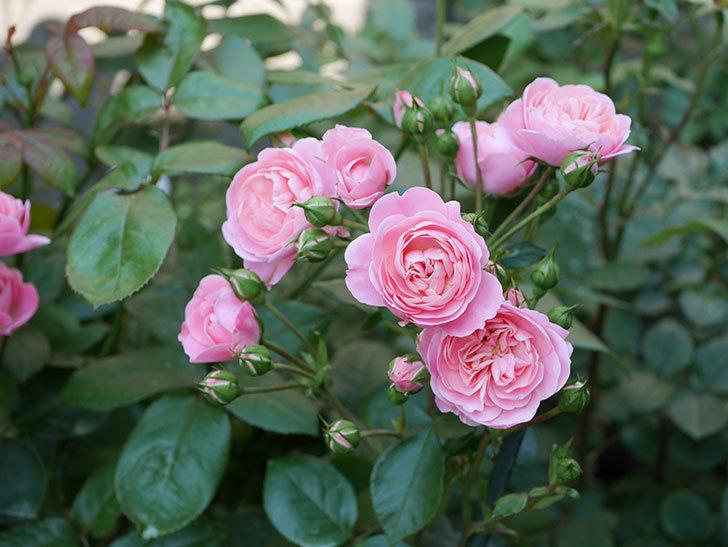 バイランド(木立バラ)の花が房で咲いた。2019年-16.jpg