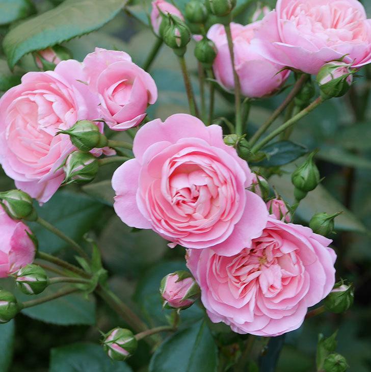 バイランド(木立バラ)の花が房で咲いた。2019年-17.jpg