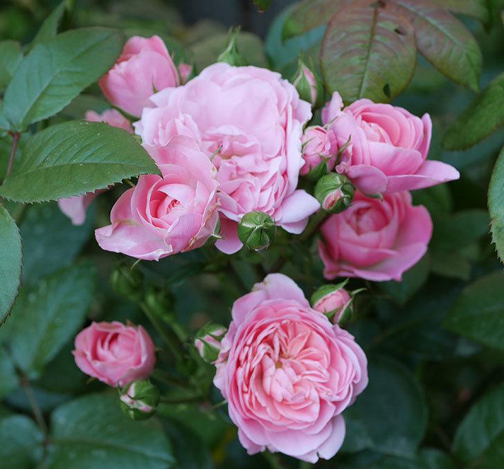 バイランド(木立バラ)の花が房で咲いた。2019年-18.jpg