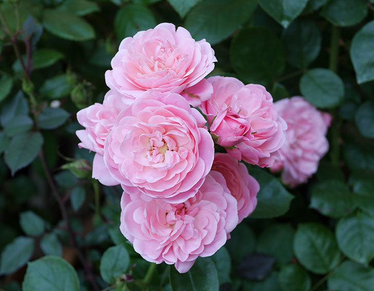 バイランド(木立バラ)の花が房で咲いた。2019年-19.jpg