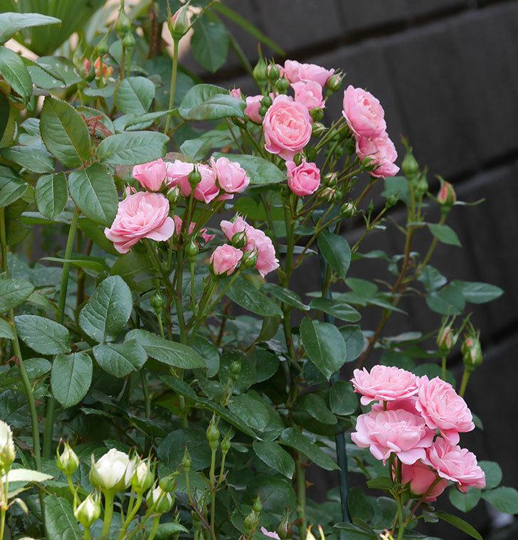 バイランド(木立バラ)の花が房で咲いた。2019年-2.jpg