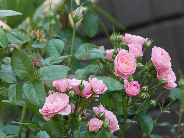 バイランド(木立バラ)の花が房で咲いた。2019年-3.jpg