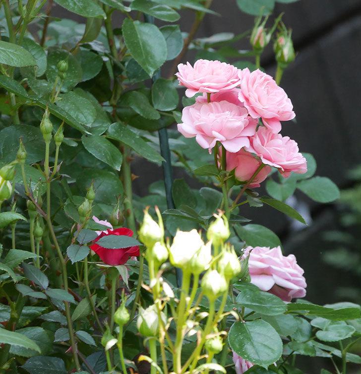 バイランド(木立バラ)の花が房で咲いた。2019年-4.jpg