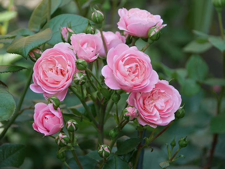 バイランド(木立バラ)の花が房で咲いた。2019年-5.jpg