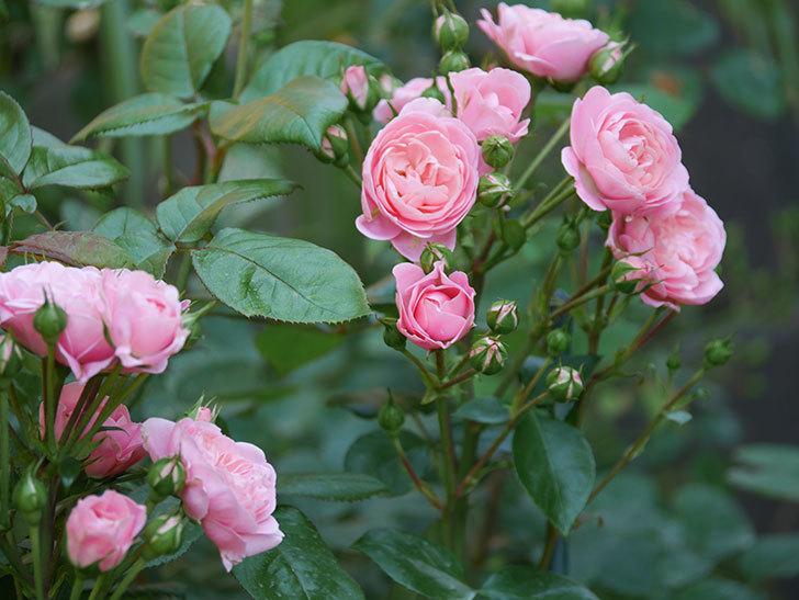 バイランド(木立バラ)の花が房で咲いた。2019年-7.jpg