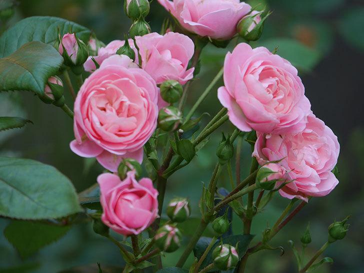 バイランド(木立バラ)の花が房で咲いた。2019年-8.jpg