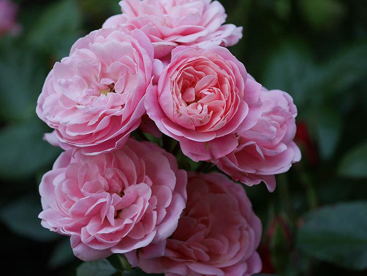 バイランド(木立バラ)の花が良い感じになってきた。2019年-1.jpg