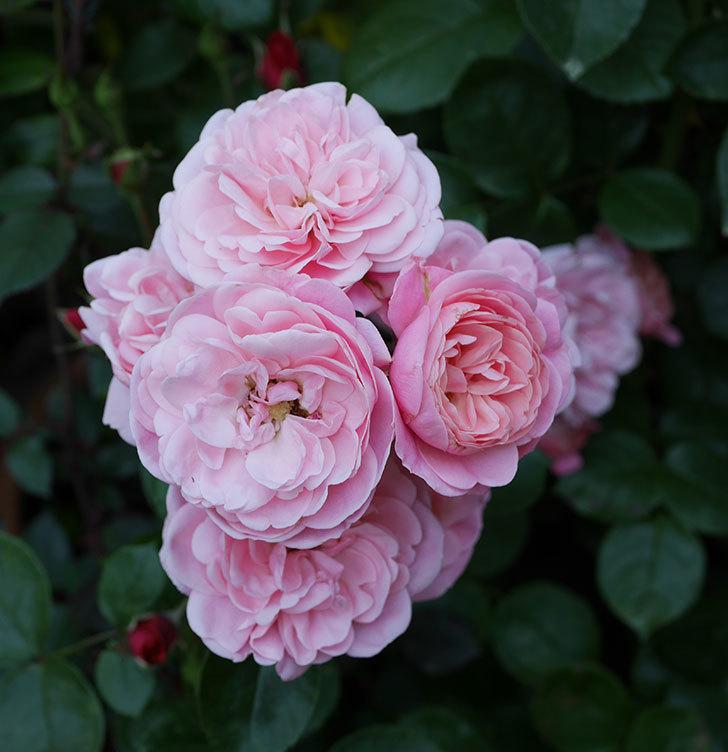 バイランド(木立バラ)の花が良い感じになってきた。2019年-12.jpg