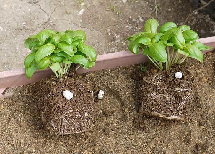 バジルの苗をプランターに植えた1.jpg