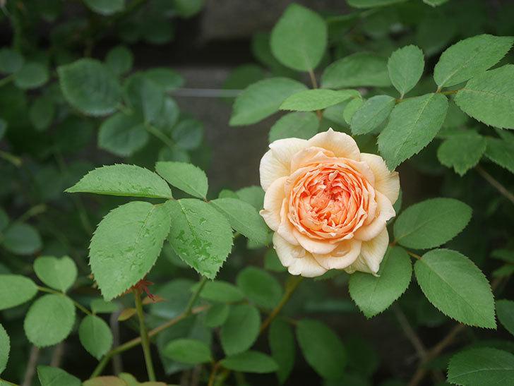 バスシーバ(Bathsheba)の2番花が2個咲いた。ツルバラ。2020年-009.jpg
