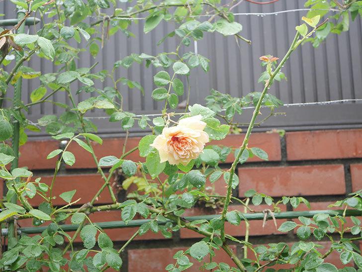 バスシーバ(Bathsheba)の2番花がまた1個咲いた。ツルバラ。2020年-001.jpg