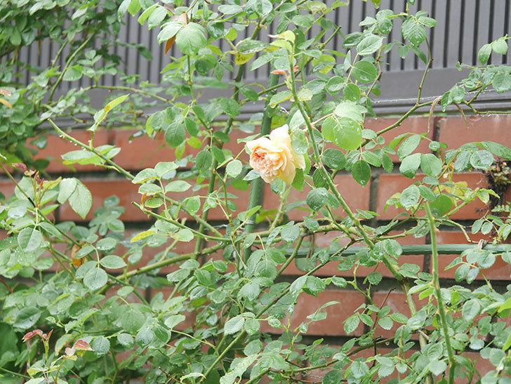 バスシーバ(Bathsheba)の2番花がまた1個咲いた。ツルバラ。2020年-002.jpg