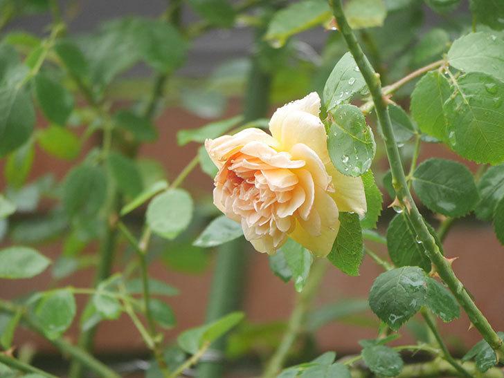 バスシーバ(Bathsheba)の2番花がまた1個咲いた。ツルバラ。2020年-003.jpg