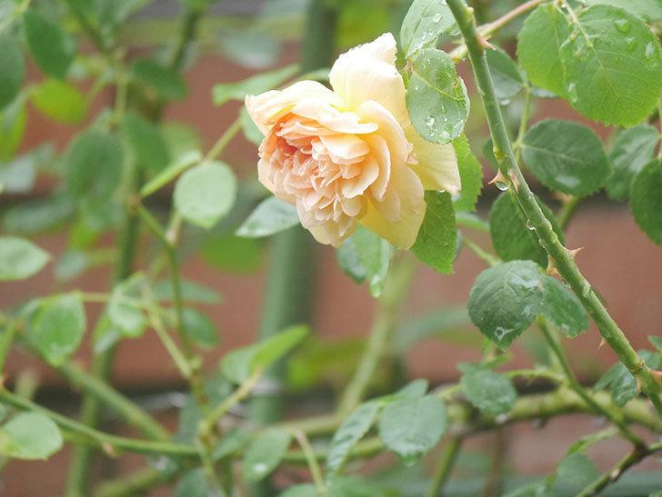 バスシーバ(Bathsheba)の2番花がまた1個咲いた。ツルバラ。2020年-004.jpg