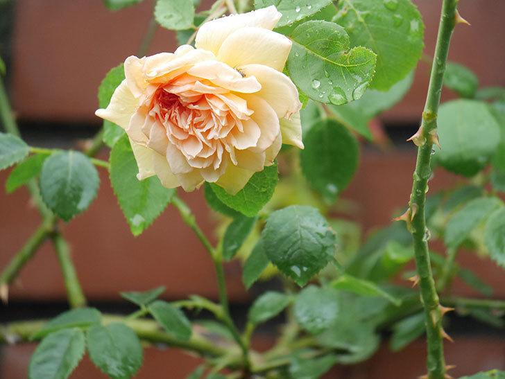 バスシーバ(Bathsheba)の2番花がまた1個咲いた。ツルバラ。2020年-005.jpg