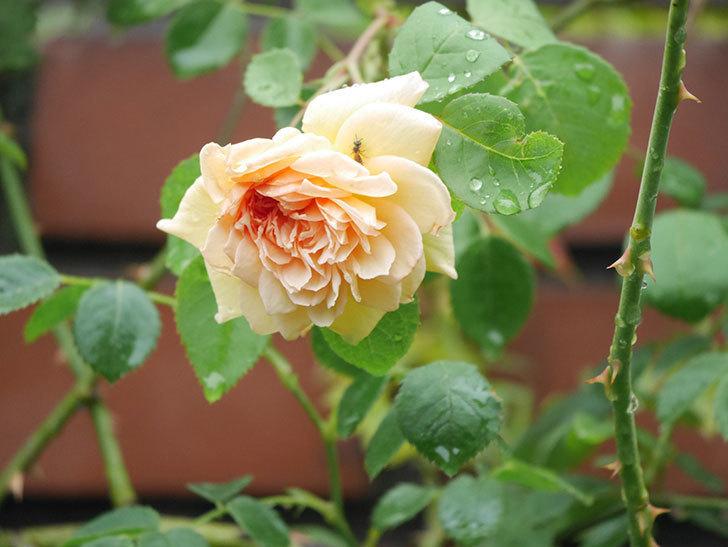 バスシーバ(Bathsheba)の2番花がまた1個咲いた。ツルバラ。2020年-006.jpg