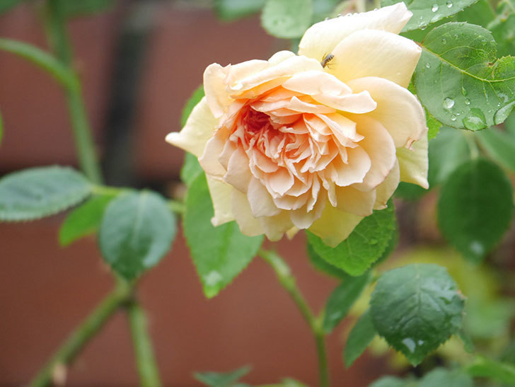 バスシーバ(Bathsheba)の2番花がまた1個咲いた。ツルバラ。2020年-007.jpg