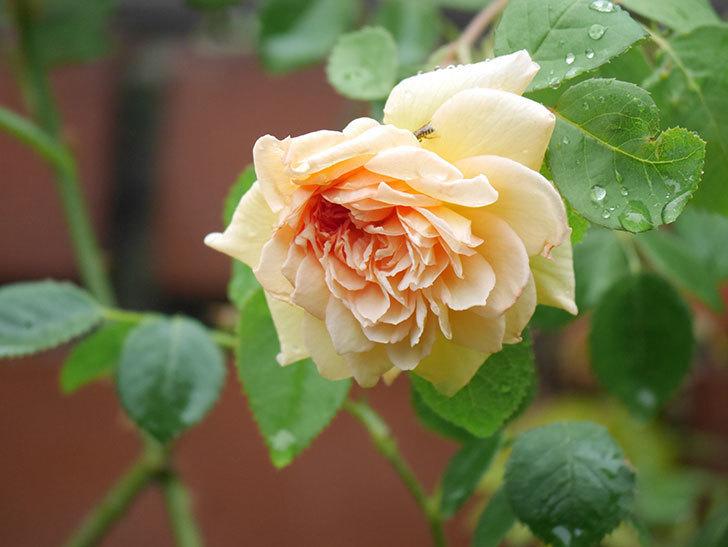 バスシーバ(Bathsheba)の2番花がまた1個咲いた。ツルバラ。2020年-008.jpg