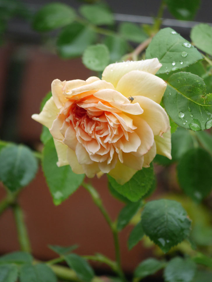 バスシーバ(Bathsheba)の2番花がまた1個咲いた。ツルバラ。2020年-009.jpg