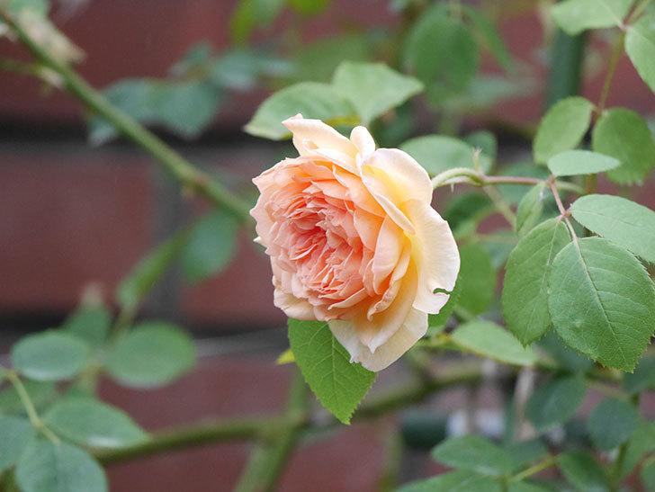 バスシーバ(Bathsheba)の2番花がまた咲いた。ツルバラ。2020年-001.jpg