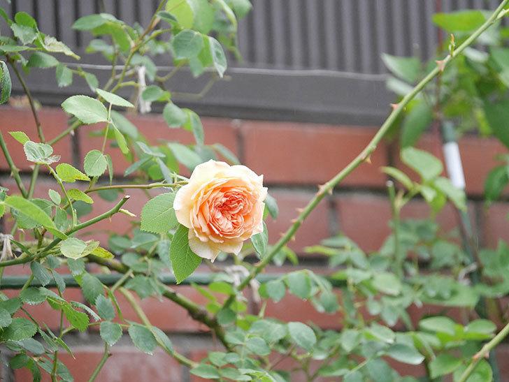 バスシーバ(Bathsheba)の2番花がまた咲いた。ツルバラ。2020年-002.jpg