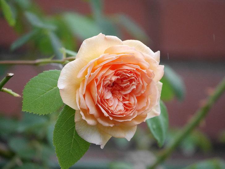 バスシーバ(Bathsheba)の2番花がまた咲いた。ツルバラ。2020年-003.jpg