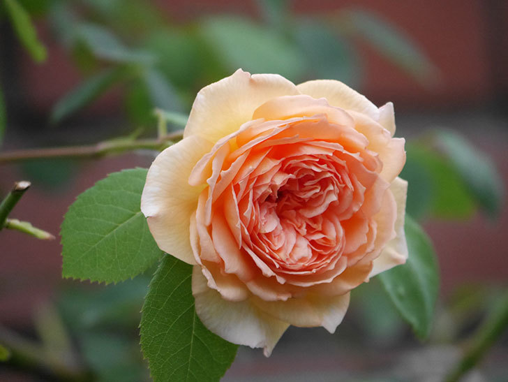 バスシーバ(Bathsheba)の2番花がまた咲いた。ツルバラ。2020年-004.jpg