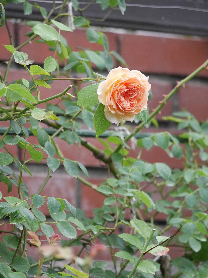 バスシーバ(Bathsheba)の2番花がまた咲いた。ツルバラ。2020年-005.jpg
