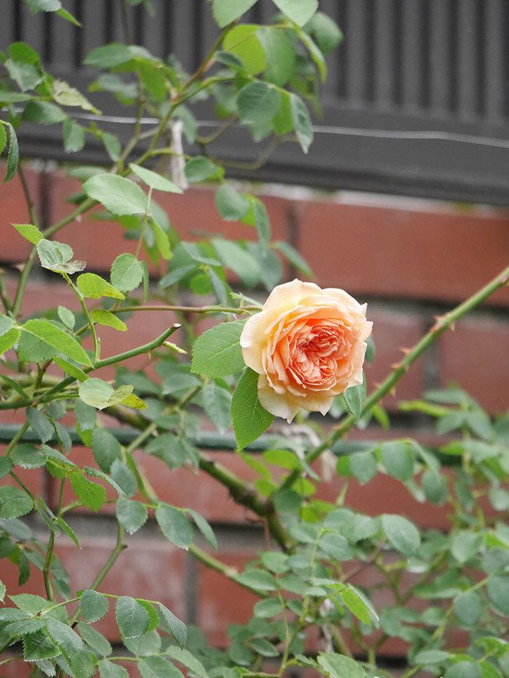 バスシーバ(Bathsheba)の2番花がまた咲いた。ツルバラ。2020年-006.jpg