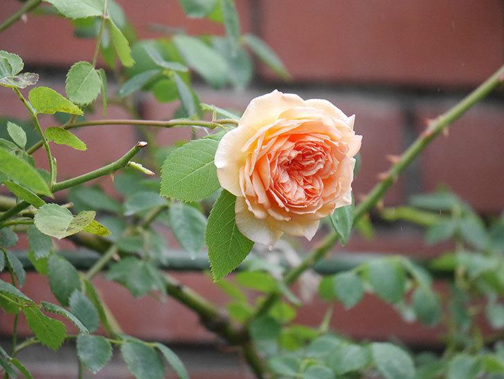 バスシーバ(Bathsheba)の2番花がまた咲いた。ツルバラ。2020年-007.jpg