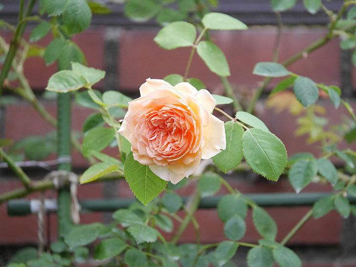 バスシーバ(Bathsheba)の2番花がまた咲いた。ツルバラ。2020年-008.jpg