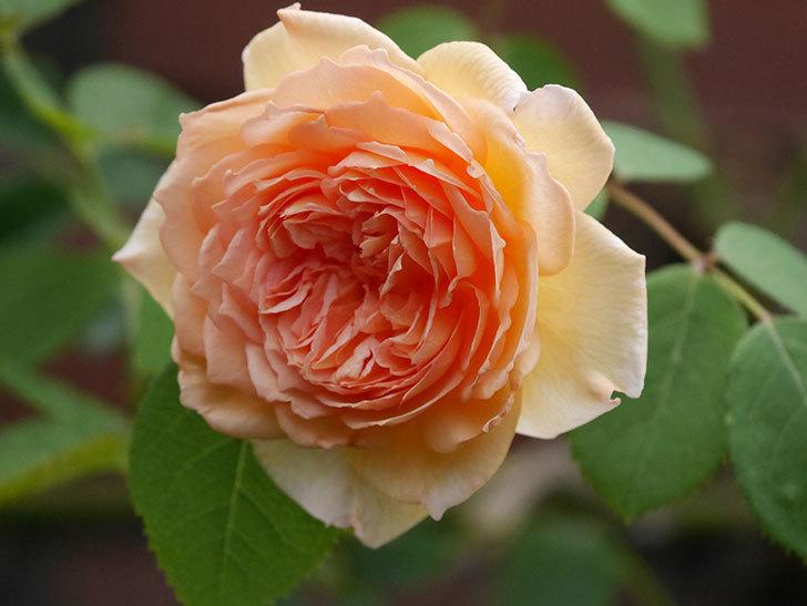 バスシーバ(Bathsheba)の2番花がまた咲いた。ツルバラ。2020年-009.jpg