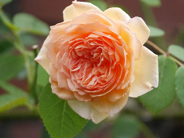バスシーバ(Bathsheba)の2番花がまた咲いた。ツルバラ。2020年-010.jpg