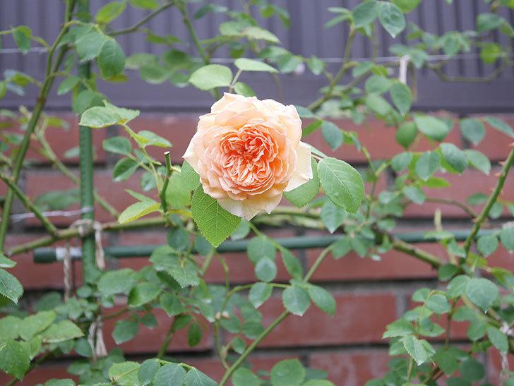 バスシーバ(Bathsheba)の2番花がまた咲いた。ツルバラ。2020年-011.jpg