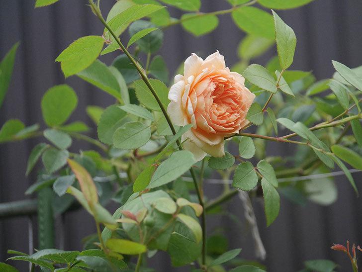 バスシーバ(Bathsheba)の2番花が上の方で咲いた。ツルバラ。2020年-001.jpg