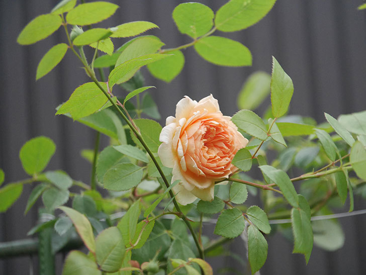 バスシーバ(Bathsheba)の2番花が上の方で咲いた。ツルバラ。2020年-002.jpg