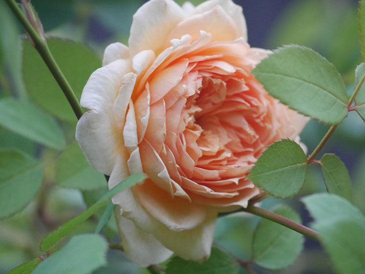 バスシーバ(Bathsheba)の2番花が上の方で咲いた。ツルバラ。2020年-003.jpg