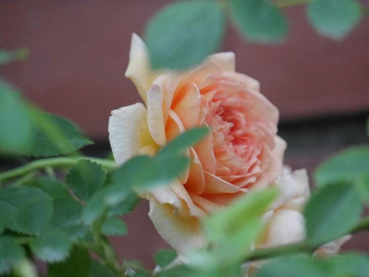 バスシーバ(Bathsheba)の2番花が上の方で咲いた。ツルバラ。2020年-005.jpg