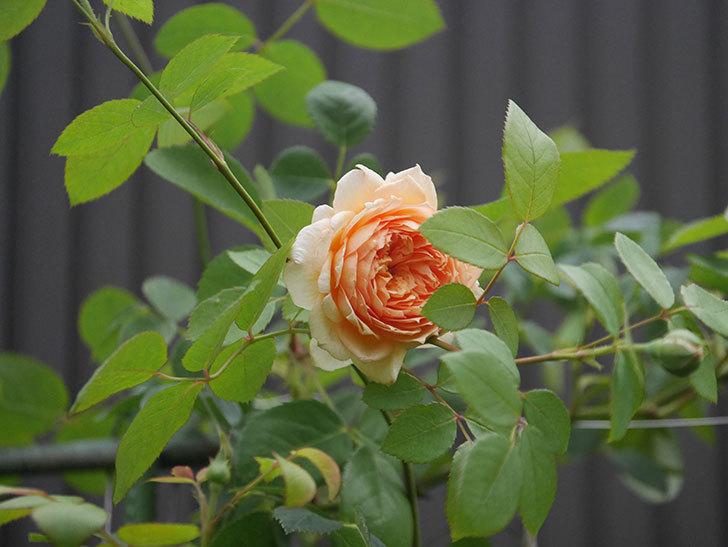 バスシーバ(Bathsheba)の2番花が上の方で咲いた。ツルバラ。2020年-006.jpg