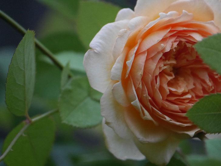 バスシーバ(Bathsheba)の2番花が上の方で咲いた。ツルバラ。2020年-007.jpg