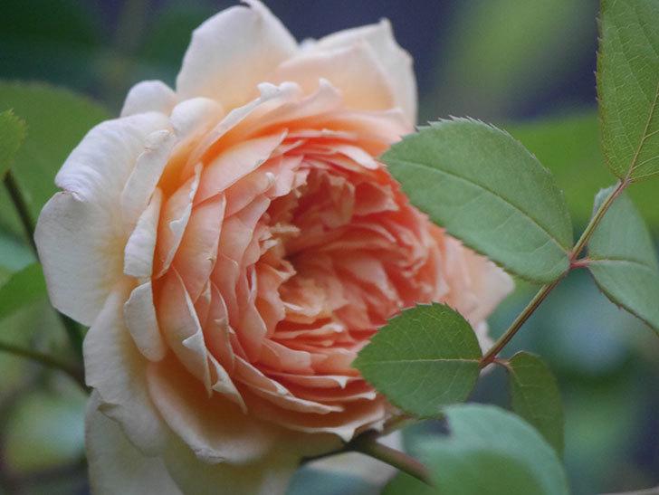 バスシーバ(Bathsheba)の2番花が上の方で咲いた。ツルバラ。2020年-008.jpg