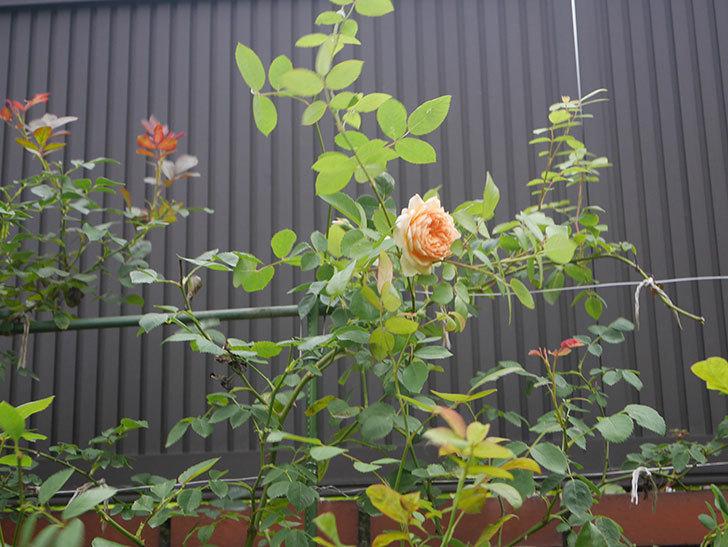 バスシーバ(Bathsheba)の2番花が上の方で咲いた。ツルバラ。2020年-009.jpg