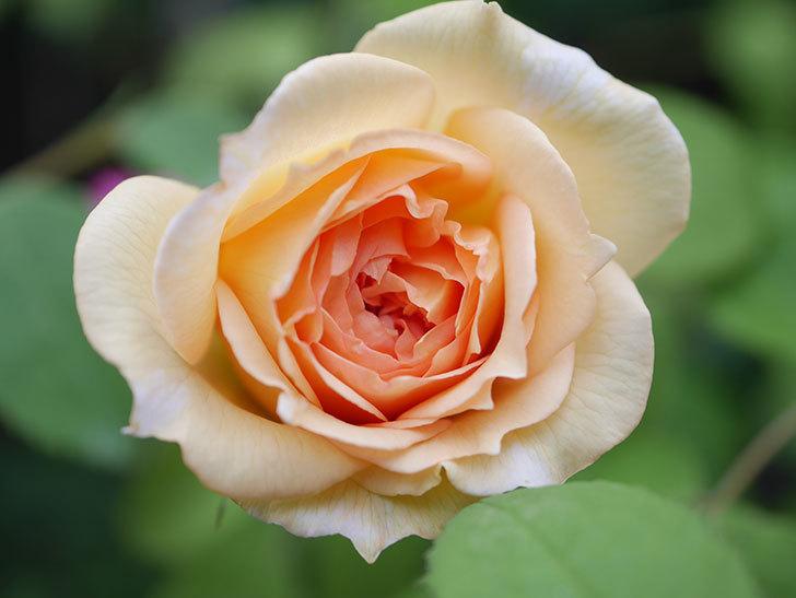バスシーバ(Bathsheba)の2番花が咲いた。ツルバラ。2020年-001.jpg