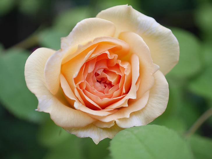 バスシーバ(Bathsheba)の2番花が咲いた。ツルバラ。2020年-002.jpg