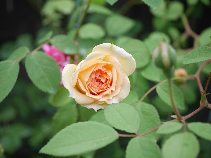 バスシーバ(Bathsheba)の2番花が咲いた。ツルバラ。2020年-003.jpg