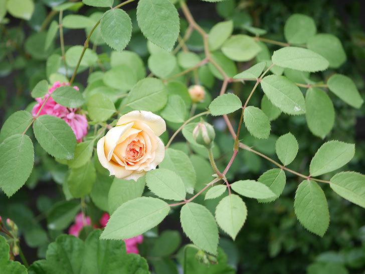 バスシーバ(Bathsheba)の2番花が咲いた。ツルバラ。2020年-004.jpg