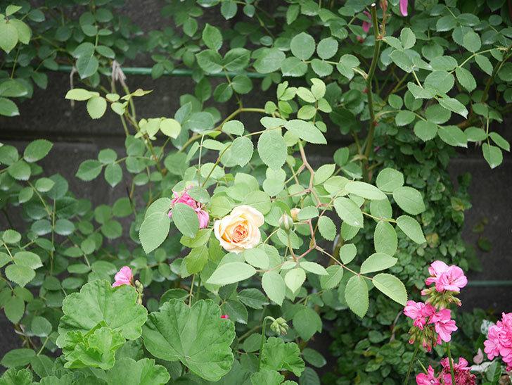 バスシーバ(Bathsheba)の2番花が咲いた。ツルバラ。2020年-005.jpg