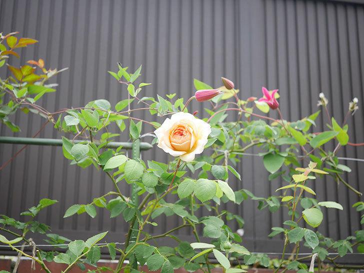 バスシーバ(Bathsheba)の2番花が咲いた。ツルバラ。2020年-006.jpg
