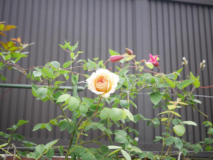 バスシーバ(Bathsheba)の2番花が咲いた。ツルバラ。2020年-007.jpg